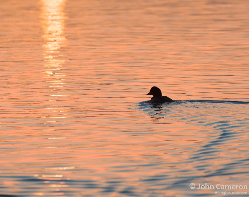 sunrise duck