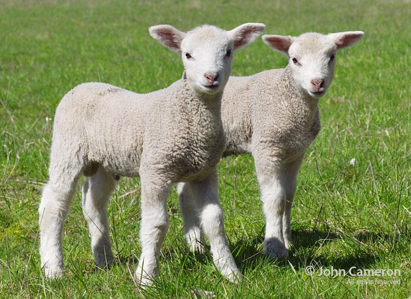 Dave's lambs