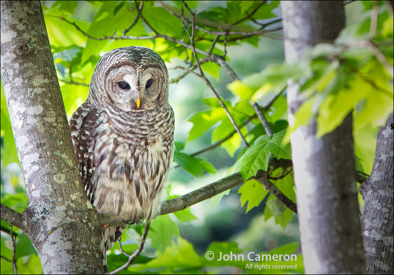 A very local Barred Owl