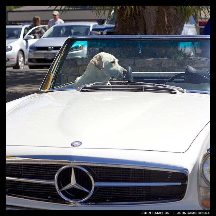 Classic Dog in a Classic Mercedes
