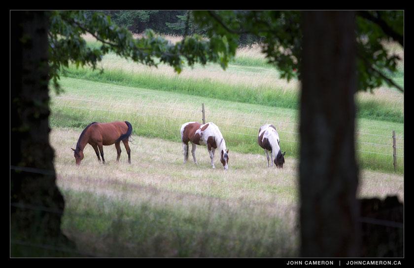 Horses graze near Booth Canal.