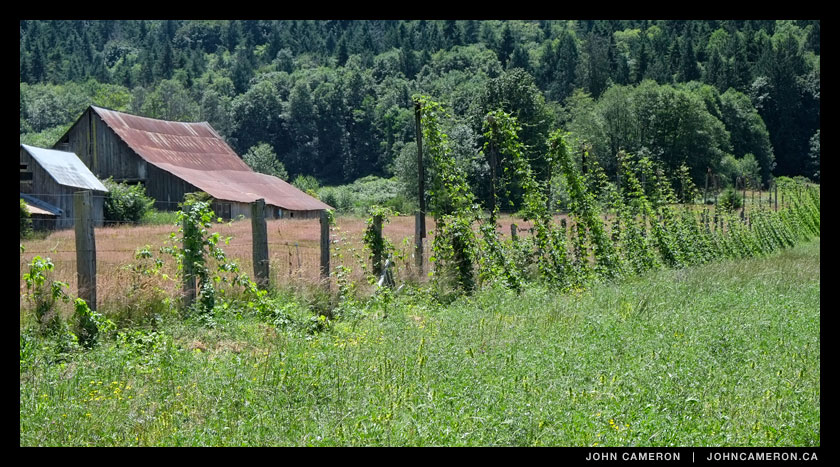 Hops growing on a Fulford Valley Farm