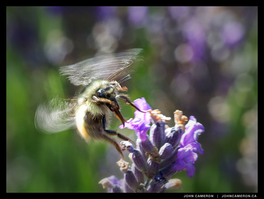 A bee takes off in a field of lavender