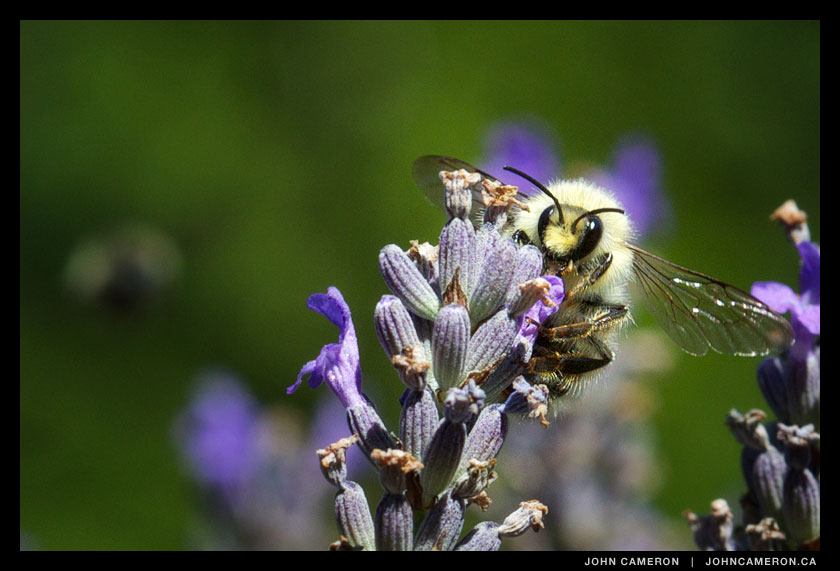 Bee at Sacred Mountain Lavender farm