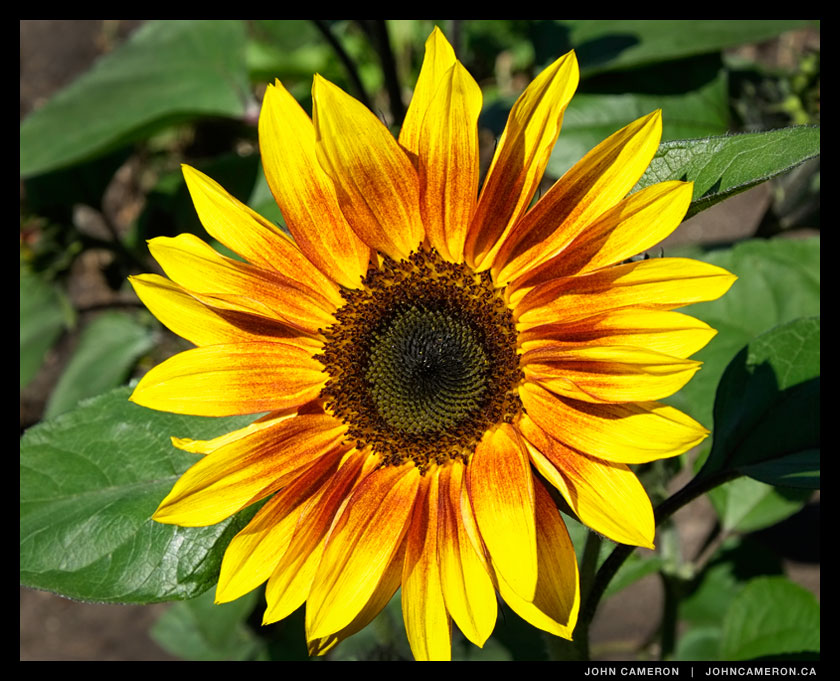 sunflower in full sun