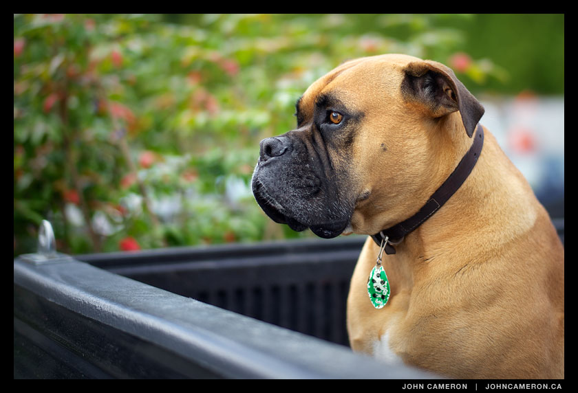 Boxer in truck outside salt spring grocery store