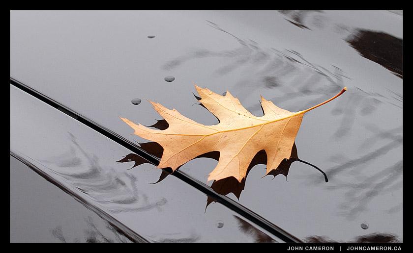 Oak leaf on shiny black car