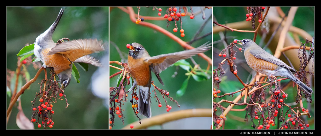 Birds eating Arbutus Berries