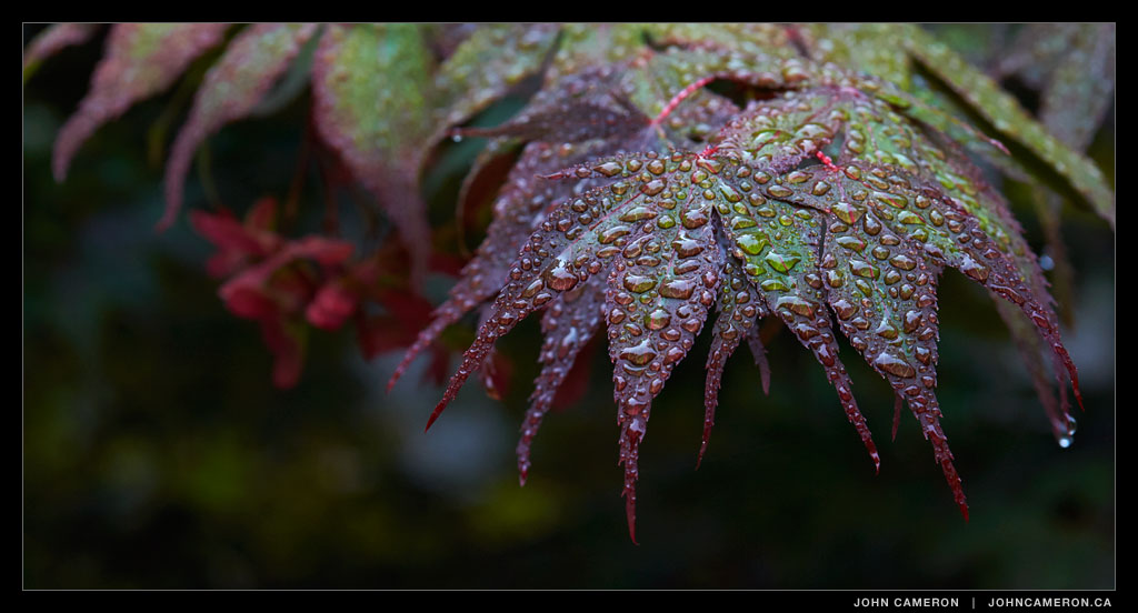Wet Morning Maple
