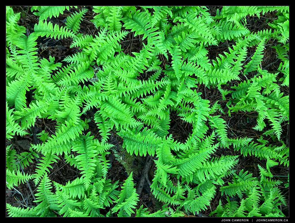 Ferns from a phone camera