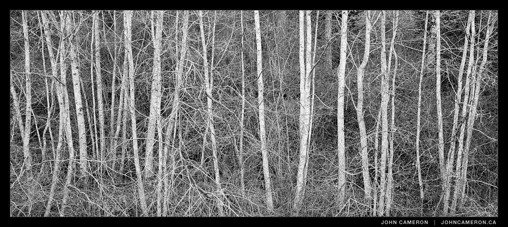 Alders in Winter