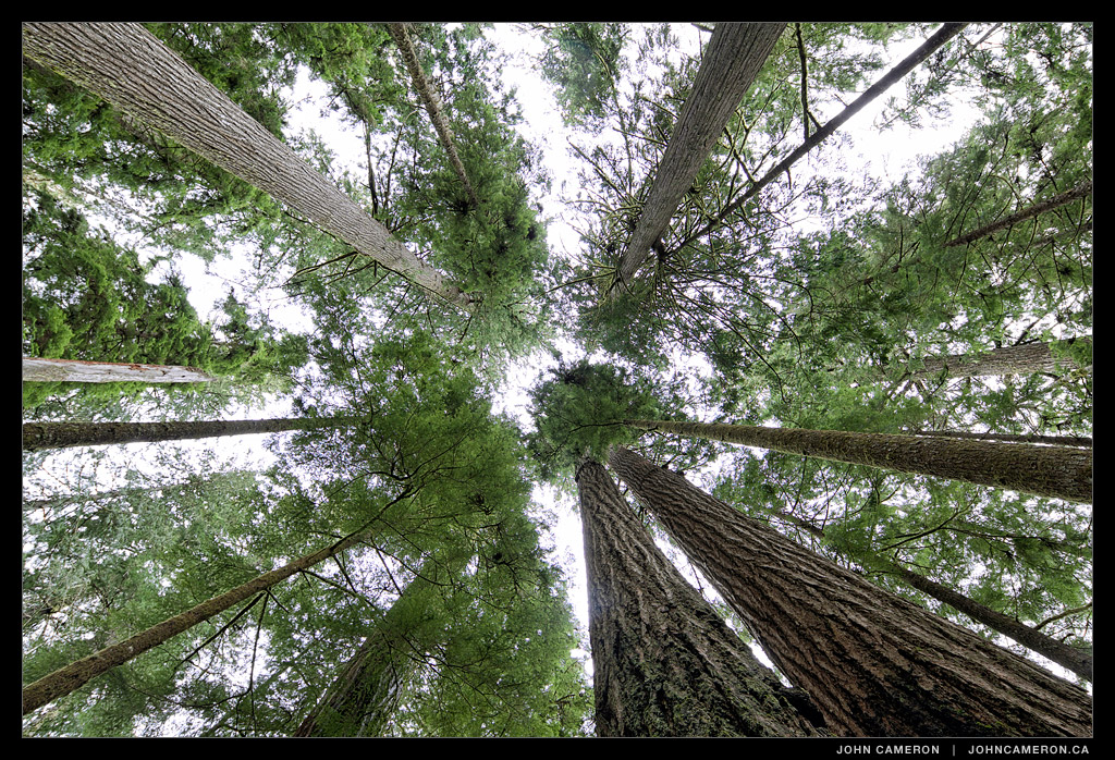 Looking up in an old growth forest