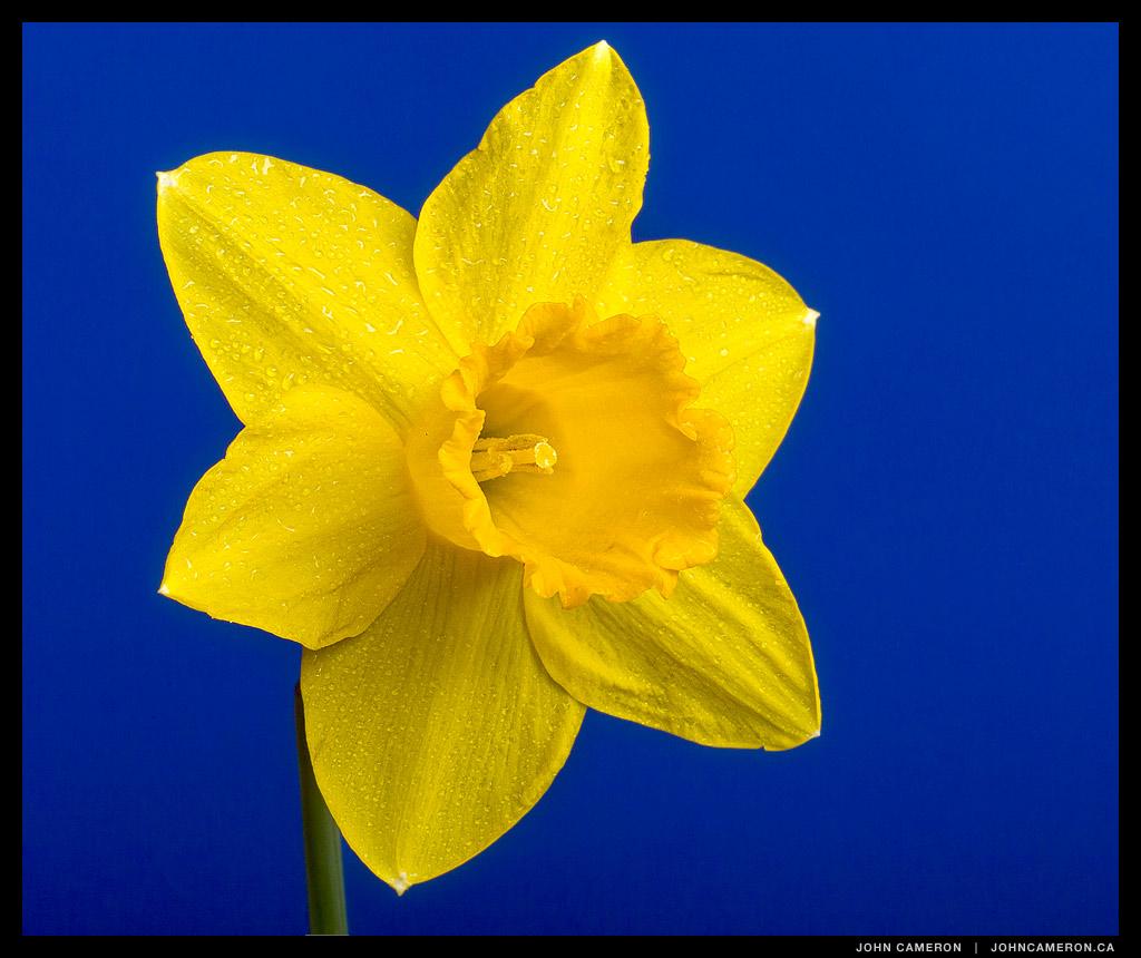 Daffodil on Blue