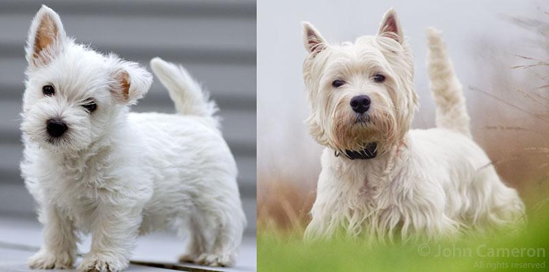 West Highland Terrier Cameron