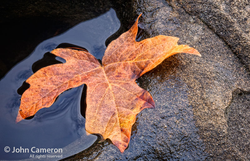 saltspring leaf on rock