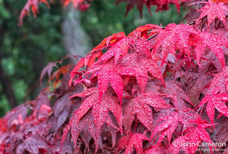 Japanese Maple in fall rain