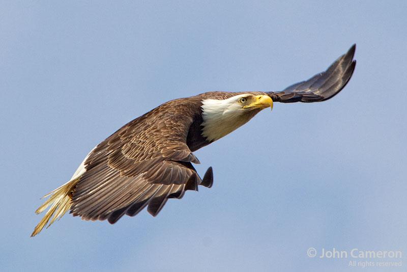 Salt Spring Eagle