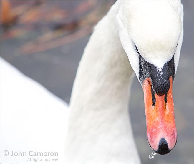 Mute Swan in Ganges Harbour