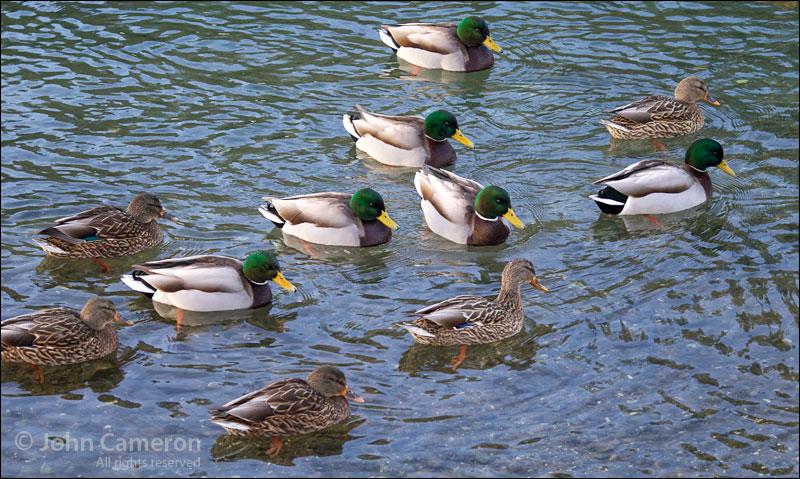 Ganges ducks