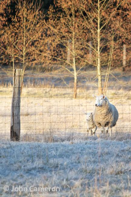 Salt Spring Sheep at sunrise