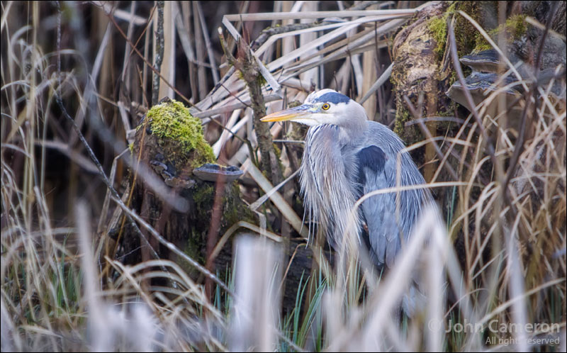 great blue heron on Salt Spring