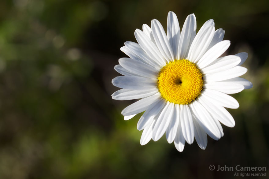 perfect daisy