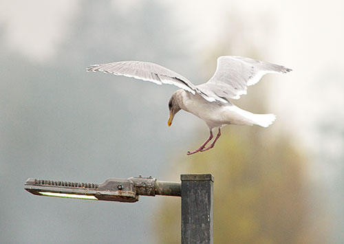 gull has rough landing 1