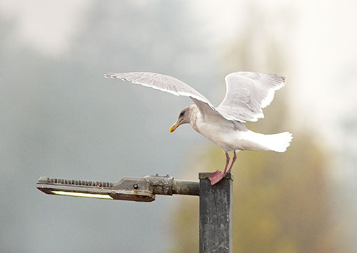 gull has rough landing 2