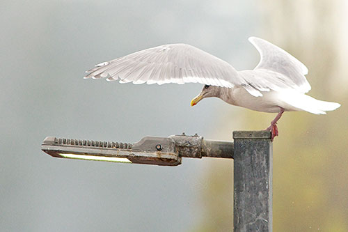 gull has rough landing 4