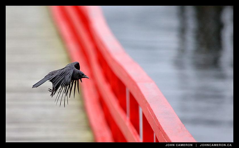 Crow Mid Flight
