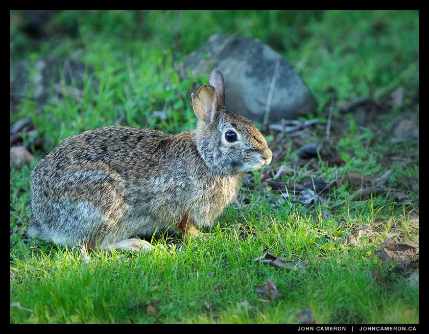 Salt Spring Rabbit