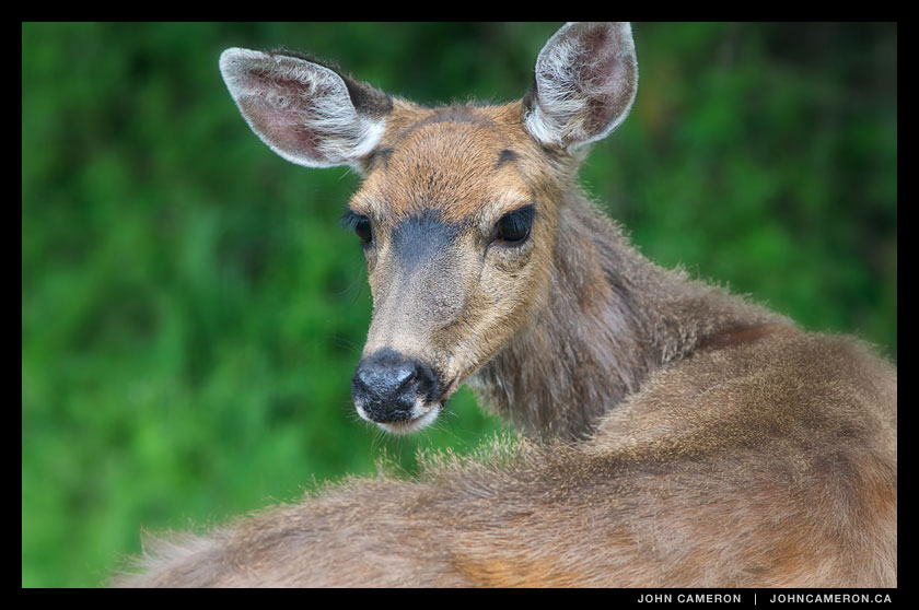 Saltspring Deer looking at you.