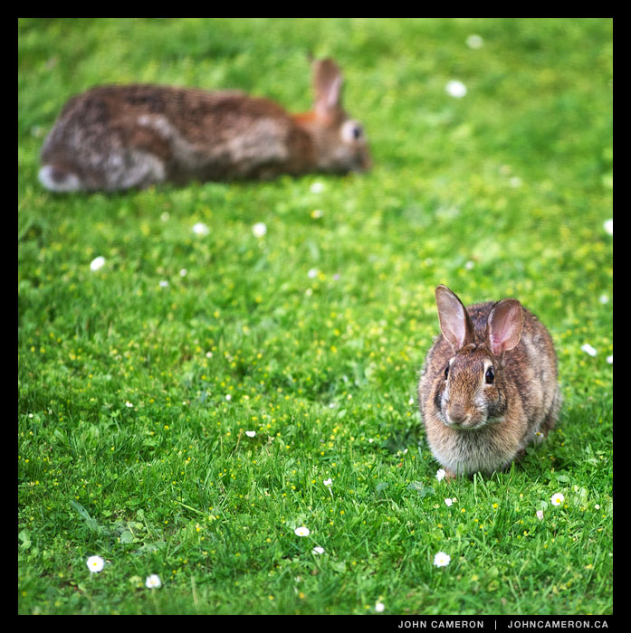 Rabbits on Salt Spring