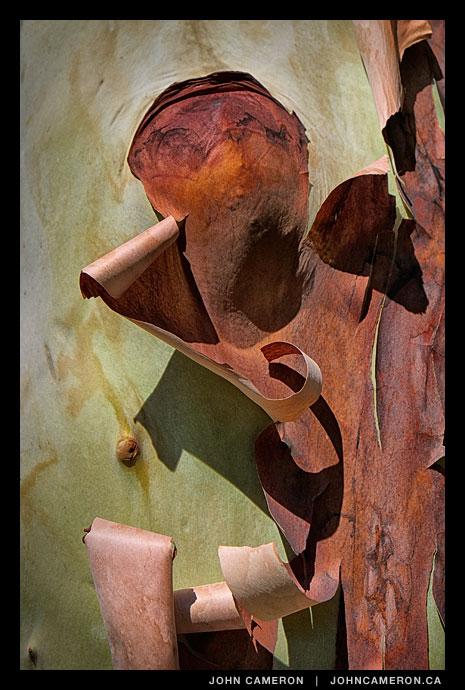 Bark peeling on an arbutus tree