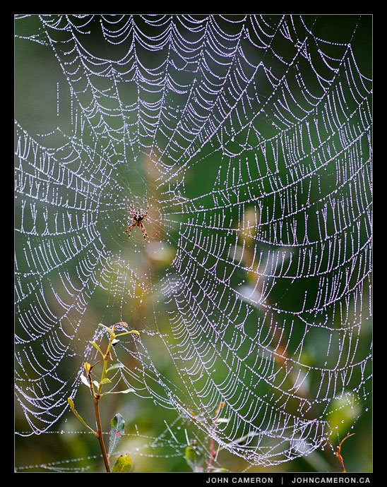 A spider and its web, fall morning on Salt Spring