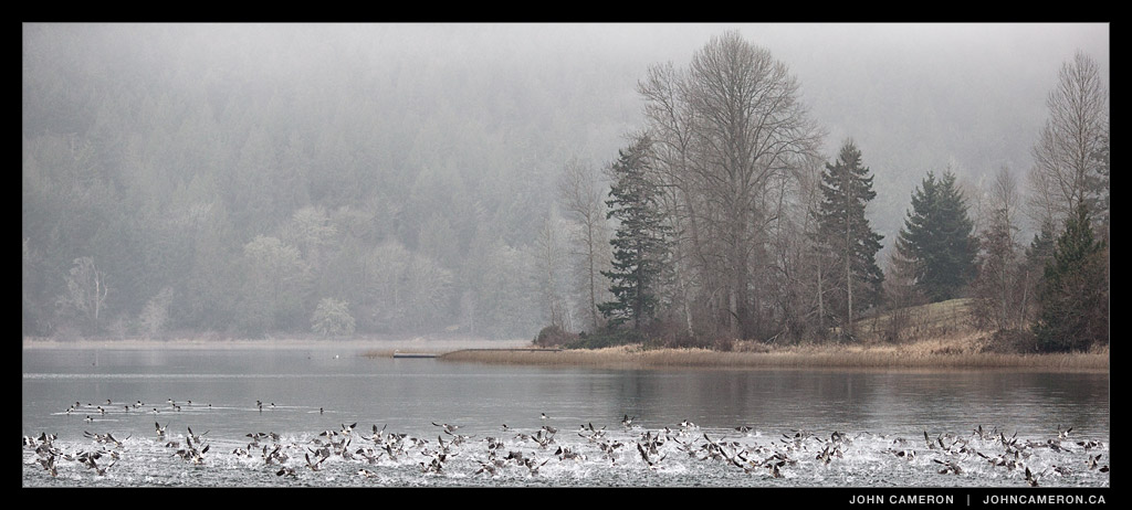 Birds on St. Mary Lake, Salt Spring Island
