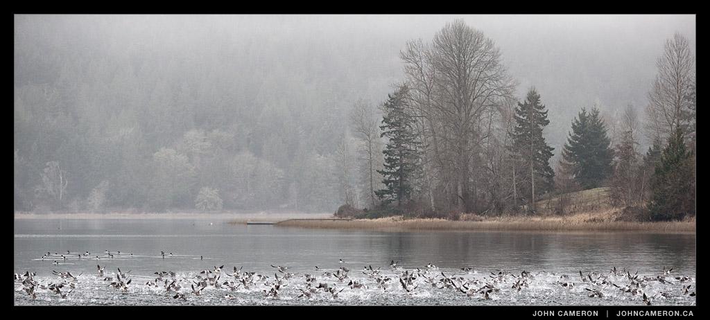 Birds on St. Mary Lake, Salt Spring Island