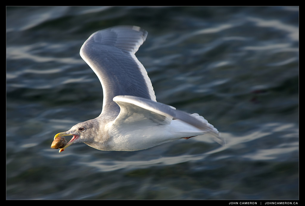 Gull flying with Shell