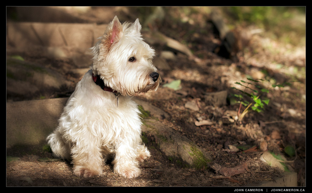 Cameron, West Highland Terrior