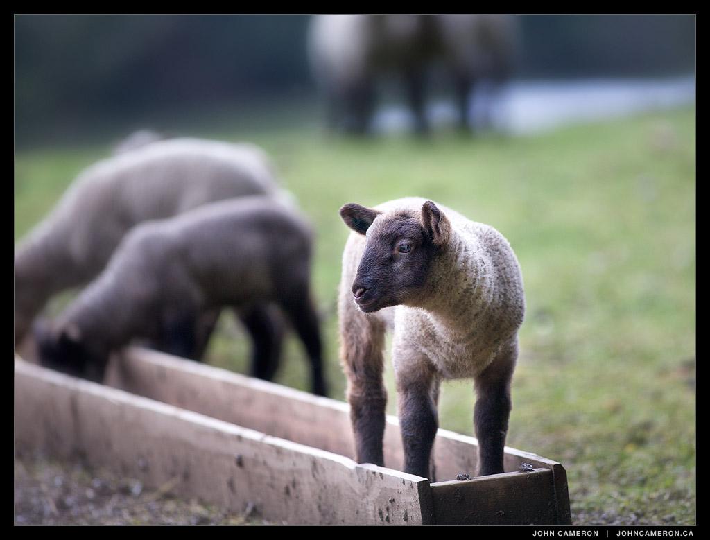 Salt Spring Lamb