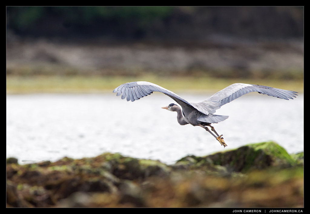 Heron at Baker Beach, Salt Spring Island