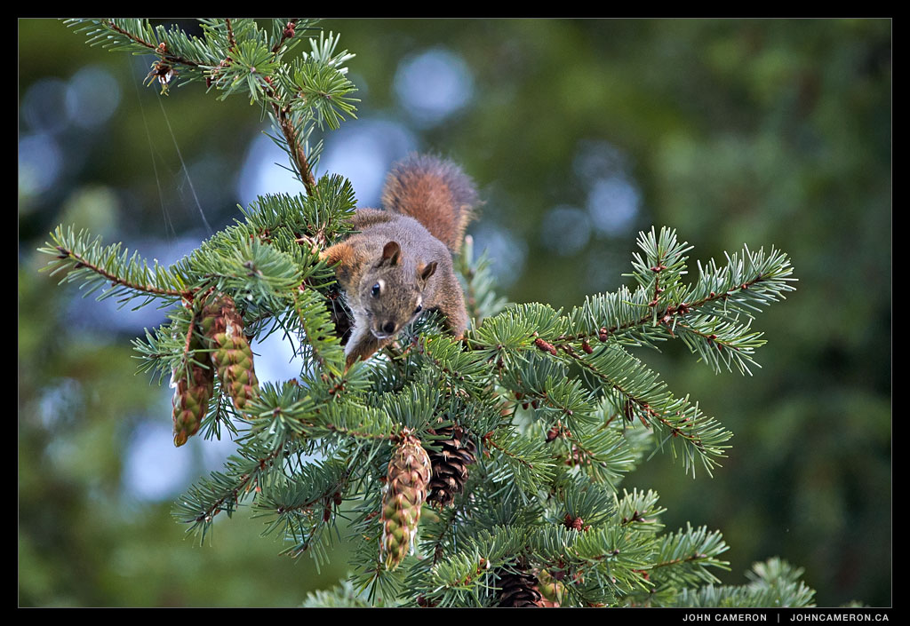 Squirrel Harvesting Fir Cones