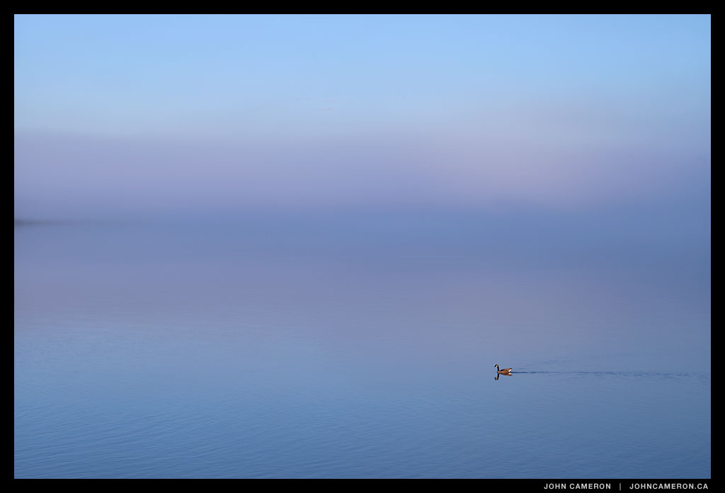 Goose swims toward the morning fog