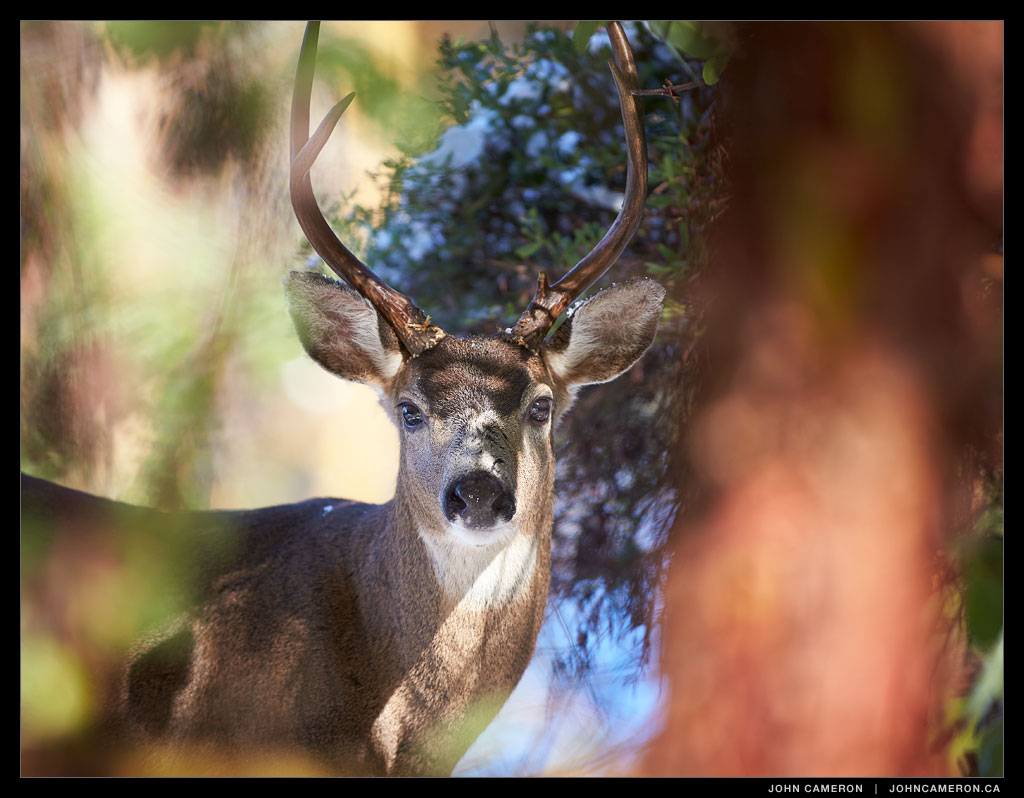 Front Yard Deer