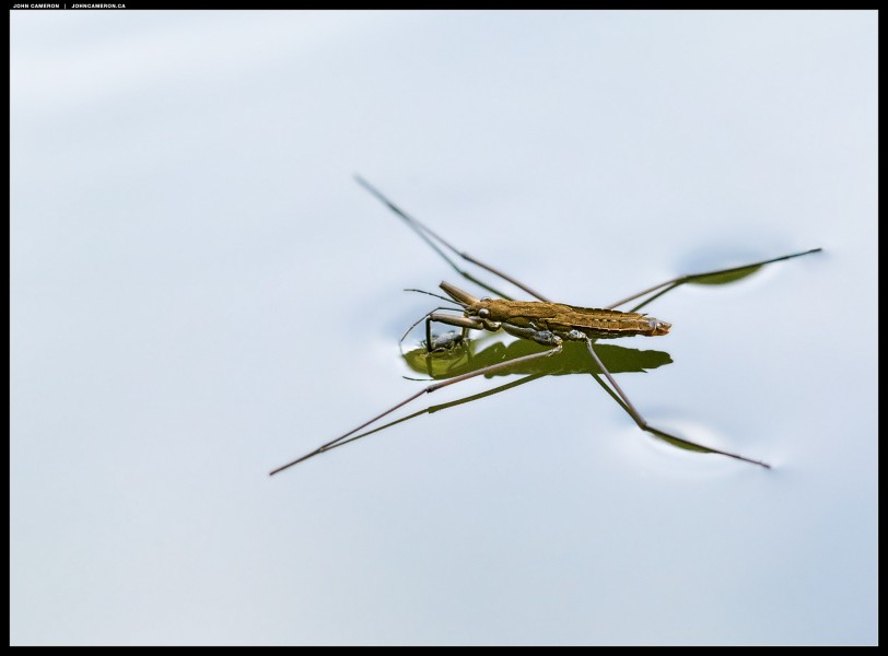 Water Strider with Prey