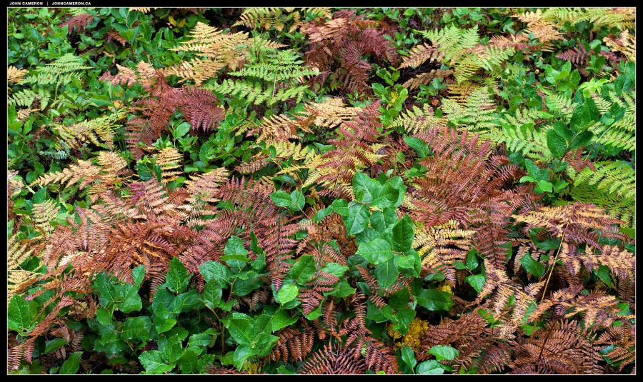 Ferns and Salal in the Rain