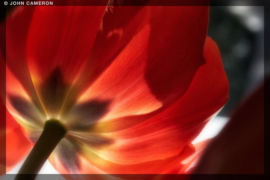 Tulip Looking Away