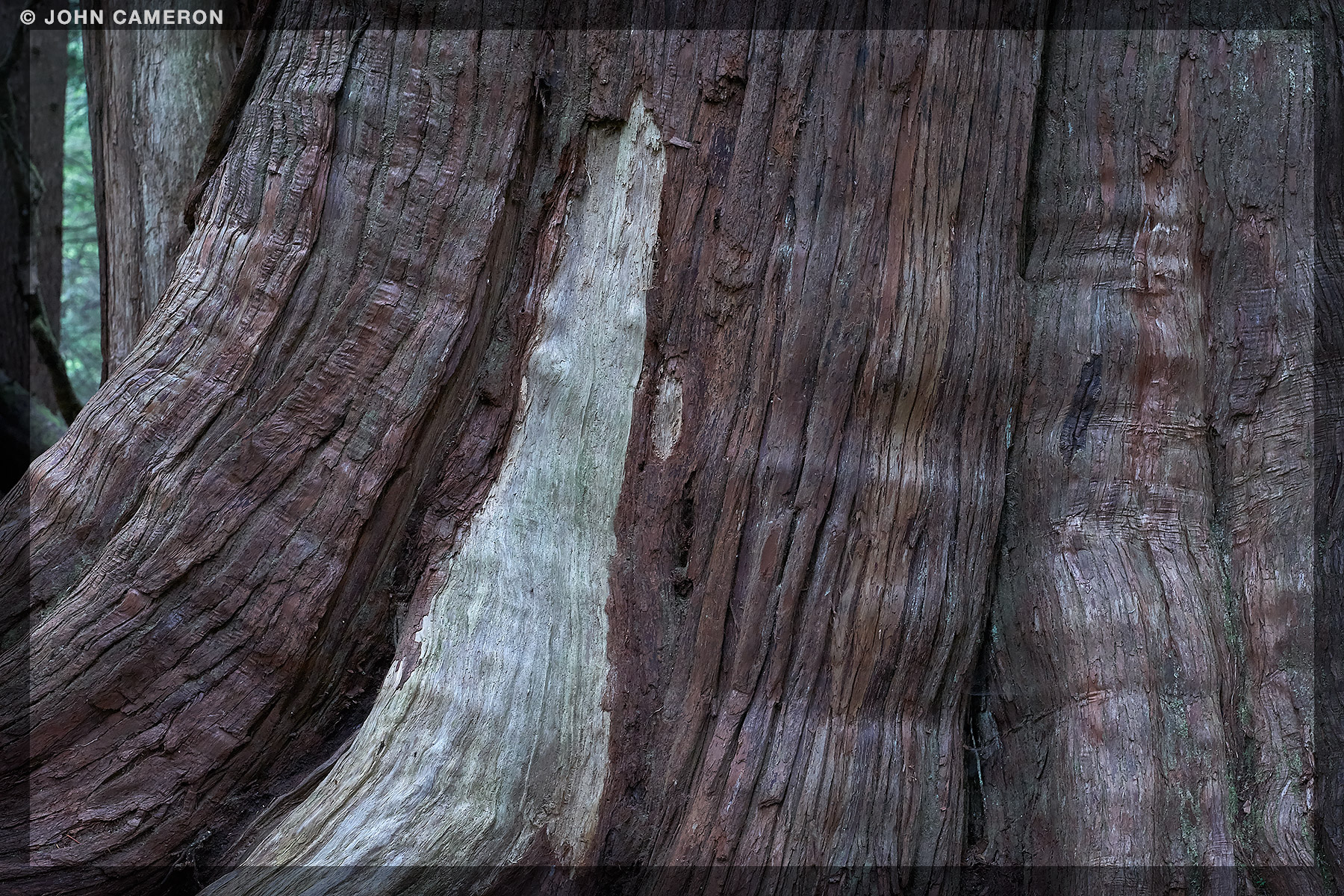 Big Western Red Cedar