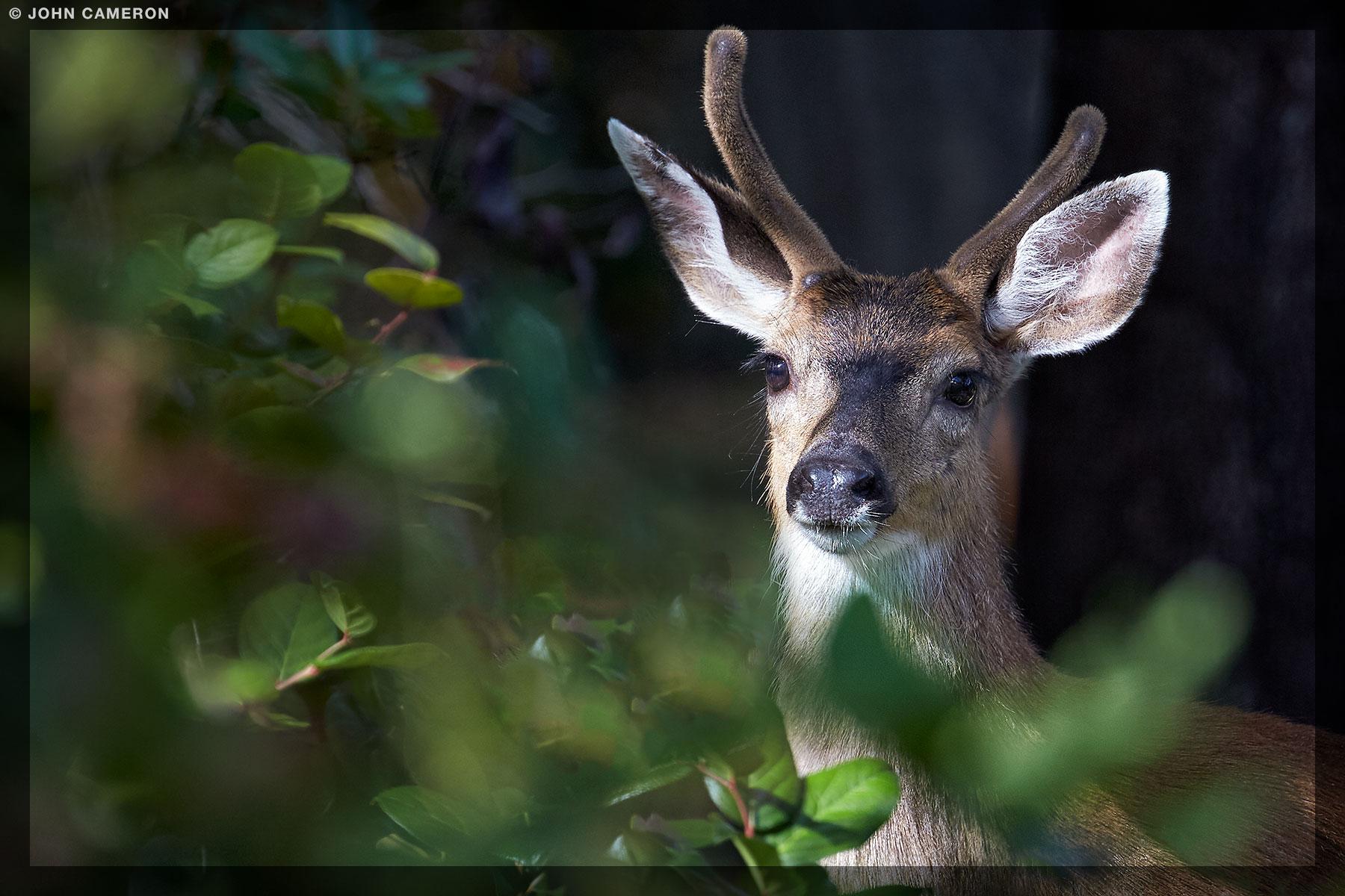 Salt Spring Island Deer